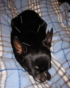 Canine Patient Receiving Acupuncture